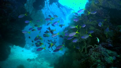 fusiliers, colorful fish, schooling fish, blue fish, coral reef