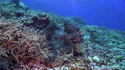 giant clam, Tridacna gigas