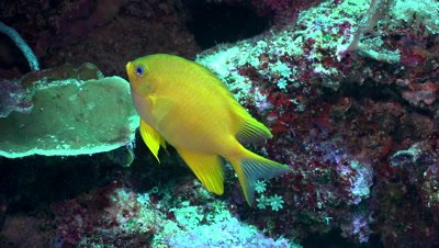 golden damselfish, colorful fish, coral reef, South Pacific