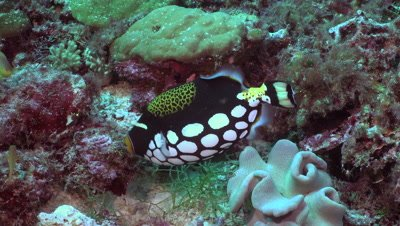 clown triggerfish, Balistoides conspicillum, nesting, colorful fish,