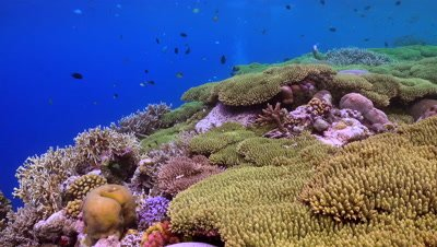coral reef, corals, colorful fish, locked down, South Pacific