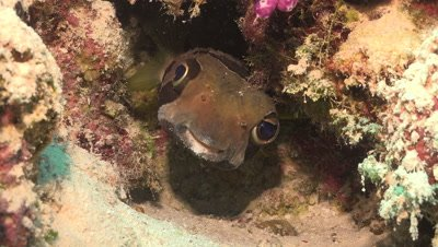 porcupine fish, Diodon liturosus, big eyes