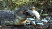 Crocodile Feeds On Fish