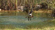 Osprey Exits Water Carrying Fish In Talons