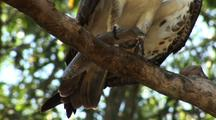 Osprey Feeds On Fish In Tree, Close-Up Of Talons