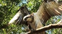 Osprey Feeds On Fish In Tree