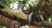 Osprey Feeds On Fish In Tree