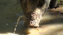 Wild Boar Or Feral Pig Wading