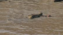 Crocodile Feeds On Animal In Water