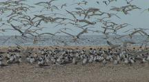 Large Flock Of Birds Lands On Beach, Possibly Crested Terns