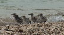 Shorebird Chicks, Possibly Crested Tern, Struggle On Beach