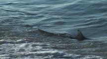 Shark, Possibly Blacktip. Patrols In Surf