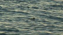 Shark, Possibly Blacktip. Grabs Chicks In Shallows