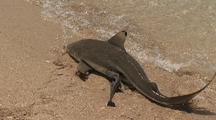 Shark, Possibly Blacktip. Beaches Itself With Remora, To Get Bait