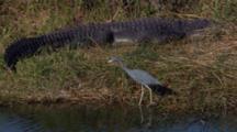 Shorebird Passes By Resting Alligator Or Crocodile