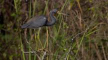 Tricolored Heron Stands Still In Swamp