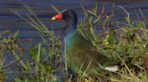 Purple Gallinule In Brush At Water's Edge