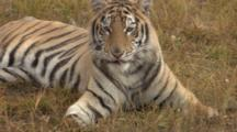 Siberian Tiger Rests In Grass