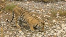 Siberian Tiger In Rocky Area