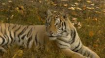 Siberian Tiger Rests In Shady Grass