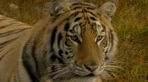 Siberian Tiger In Forest Setting