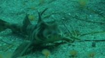 Horn Shark Rests On Sandy Bottom