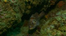 Gopher Rock Fish Hides Under Ledge Of Rocky Reef