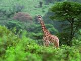 Giraffe Looking Towards Camera