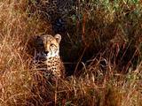 Cheetah Sitting In Tall Grass