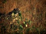 Cheetah Walks Through Tall Grass