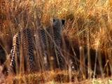 Cheetahs Walk Through Tall Grass