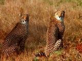 Cheetahs Sitting In Tall Grass