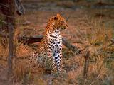Leopard Sits And Looks Alert