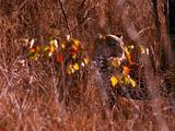 Leopard Rests In Tall Grass, Alert