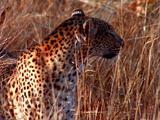 Leopard Walking Through Tall Grass