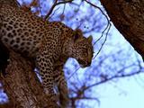 Leopard, Sitting In Tree, Climbs Down