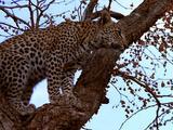 Leopard Climbs Up Tree