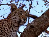 Leopard Sitting In Tree