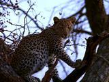 Leopard Sits In Tree