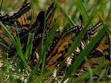 Group Of Monarch Butterflies In Grass