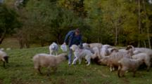 Person In Pen With Sheep And Dogs