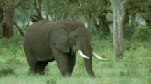 Adult Elephant Grazes