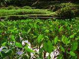 Flooded Taro Field