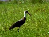 Woolly-Necked Stork Grazes