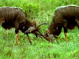 Two Male Nyalas, Fighting, Butting Heads