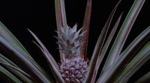 Pineapple, Growing