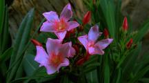 Oleander, Blooming