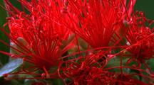 Bottlebrush, Blooming