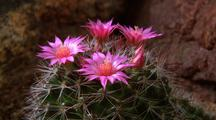 Cactus, Blooming