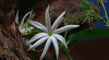 Star Jasmine, Blooming